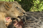 Lioness eating the r