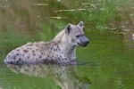 Spotted hyena cools