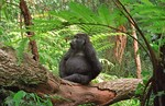 Mountain gorilla sit