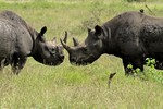 Two black rhinos, Kr