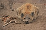 A female hyena stays