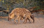 Spotted hyena with o