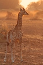 Young giraffe at sun