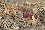 Cheetah kill, Mashat